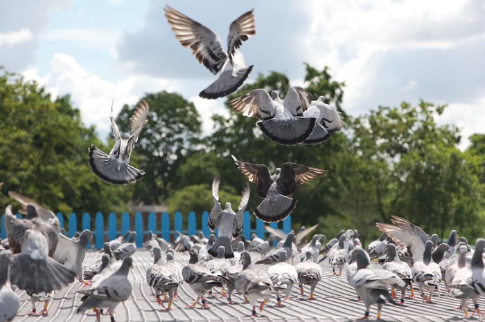 7,401 pigeons were submitted to the competition, 39 countries globally.